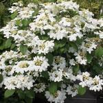 Viburnum plicatum 'Watanabe' - Japanse sneeuwbal - Viburnum plicatum 'Watanabe'