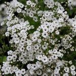 Gypsophila paniculata - Gipskruid - Gypsophila paniculata