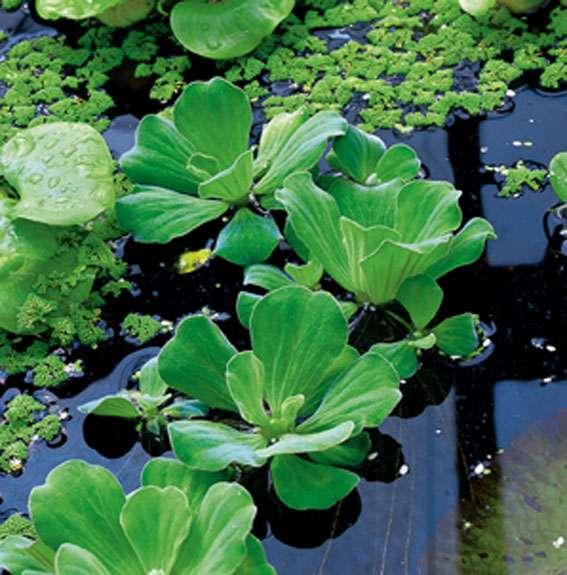 watersla of mosselplant pistia stratiotes. Black Bedroom Furniture Sets. Home Design Ideas