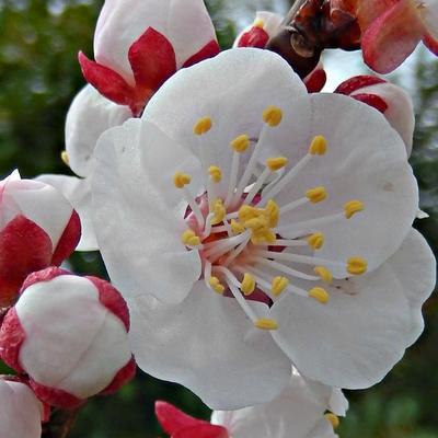 Prunus armeniaca 'Rouge du Roussillon' -