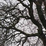 Salix babylonica 'Tortuosa' - Krulwilg - Salix babylonica 'Tortuosa'
