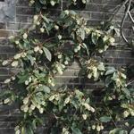 Ribes laurifolium - Ribes laurifolium - Ribes