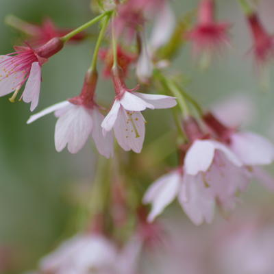 Prunus 'Okame' -
