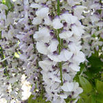Wisteria floribunda 'White With Blue Eyes' - Blauwe regen