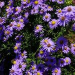 Aster amellus  - Aster