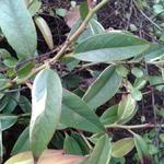 Leucothoe fontanesiana 'Whitewater'  - Druifheide - Leucothoe fontanesiana 'Whitewater'