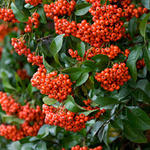 Pyracantha 'Mohave' - Pyracantha 'Mohave' - Vuurdoorn