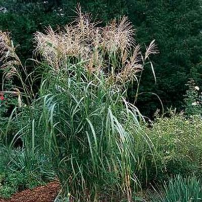 prachtriet miscanthus sinensis 39 silberfeder 39 planten online kopen. Black Bedroom Furniture Sets. Home Design Ideas