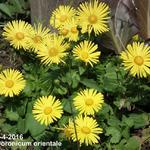 Doronicum orientale - Voorjaarszonnebloem/Gele margriet - Doronicum orientale