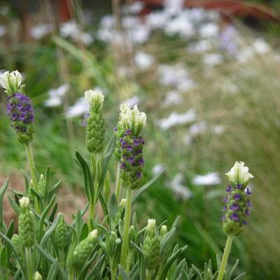 cultivars van lavendel lavandula angustifolia 39 aromatic. Black Bedroom Furniture Sets. Home Design Ideas
