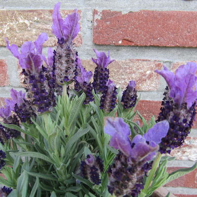 cultivars van lavendel lavandula angustifolia. Black Bedroom Furniture Sets. Home Design Ideas
