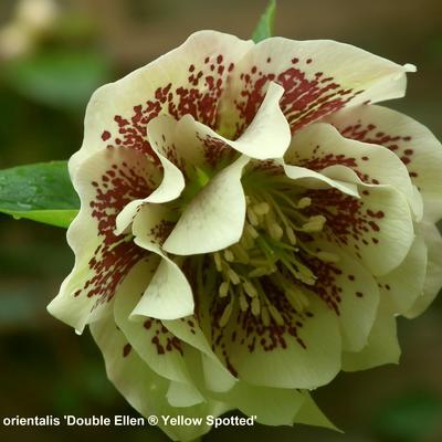 Helleborus orientalis 'DOUBLE ELLEN Yellow Spotted' -