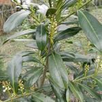 Laurierkers - Prunus laurocerasus 'Caucasica'