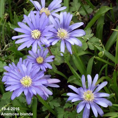 Anemone blanda -