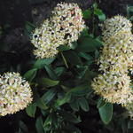 Skimmia  - Skimmia japonica 'Fragrant Cloud'