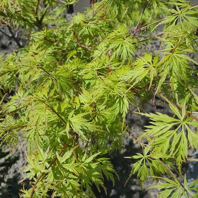 Acer palmatum var. dissectum 'Seiryu' -