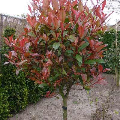 Photinia x fraseri 'Carré Rouge' - Glansmispel