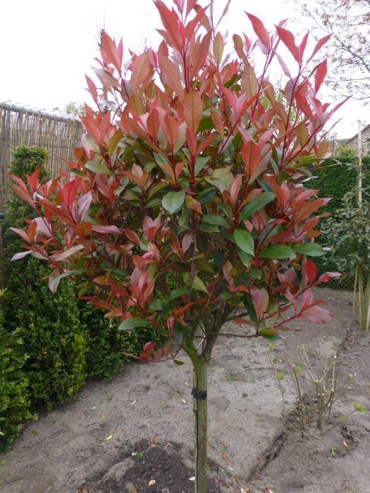 Glansmispel photinia x fraseri 39 carr rouge 39 - Photinia fraseri carre rouge ...
