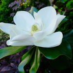 Magnolia grandiflora 'Galissonière' - Beverboom
