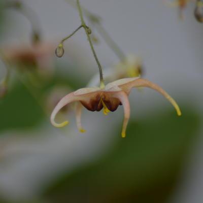 Epimedium Wushanense 'Caramel' -