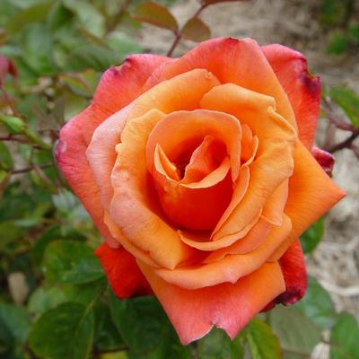 Rosa  'Royal Dane' -