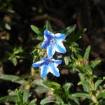 Lithodora diffusa 'Star'  - Parelzaad, Steenzaad