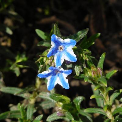 Lithodora diffusa 'Star' PBR - Parelzaad, Steenzaad