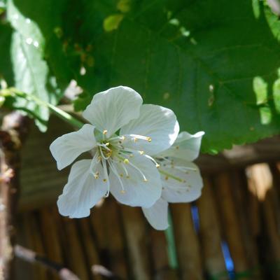 Prunus avium 'Stella' -