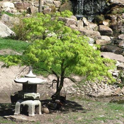 Acer palmatum 'Dissectum' -