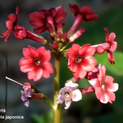Primula japonica - Sleutelbloem / Japanse etageprimula - Primula japonica