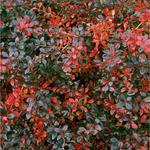 Berberis media 'Red Jewel' - Zuurbes