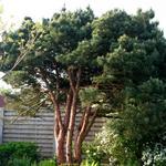 Pinus sylvestris 'Watereri' - Grove den - Pinus sylvestris 'Watereri'