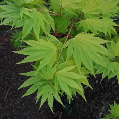 Acer shirasawanum 'Jordan' -