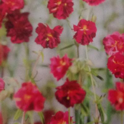 Zonneroosje - Helianthemum 'Cerise Queen'