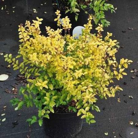 Ligustrum ovalifolium 'Lemon and Lime'