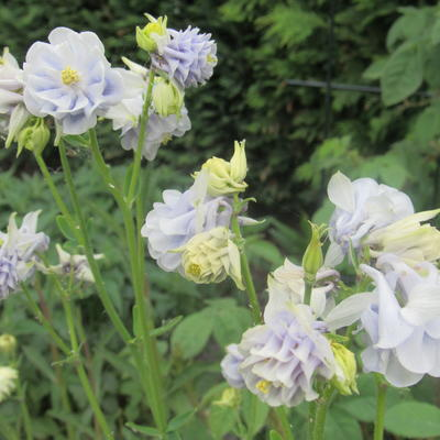 Aquilegia vulgaris 'Tower Light Blue' - Akelei