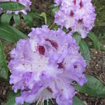Rhododendron 'Blue Peter' - Rododendron