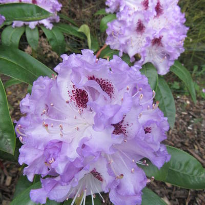 Rhododendron 'Blue Peter' -