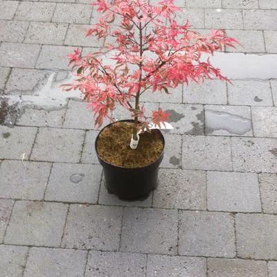 Acer palmatum 'Shirazz' -