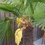 Trachycarpus fortunei - Trachycarpus fortunei - Palm, Windmolenpalm, Chinese waaierpalm