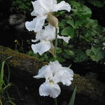 Iris germanica 'White Knight' - Baardiris, zwaardiris