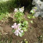 Lamium maculatum 'Pink Pewter' - Gevlekte dovenetel - Lamium maculatum 'Pink Pewter'