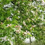 Malus domestica 'Schone Van Boskoop'  - Malus domestica 'Schone Van Boskoop'  - Appelboom
