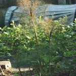 Foeniculum vulgare 'Purpureum' - Rode venkel - Foeniculum vulgare 'Purpureum'