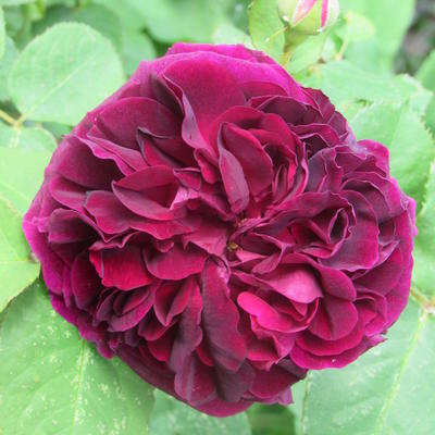 Rosa 'Munstead Wood' -