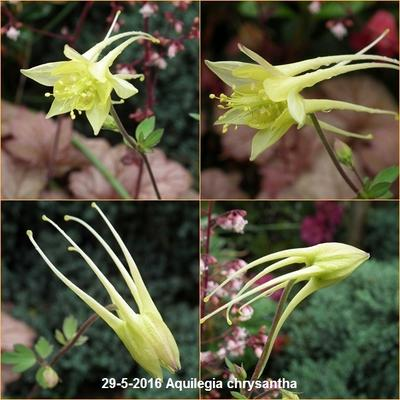 Aquilegia chrysantha -