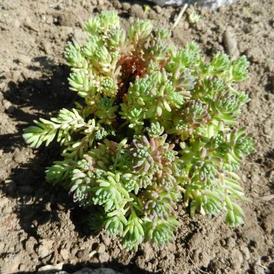 Sedum glaucophyllum 'Lizard' -