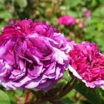 Rosa 'Russelliana' - Rosa 'Russelliana' - Roos, klimroos