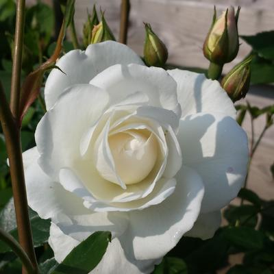 Rosa 'White Symphony' - Roos