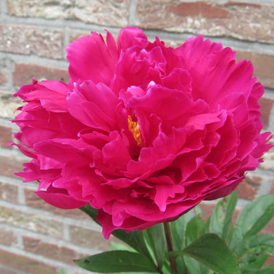 Paeonia lactiflora 'Karl Rosenfield' - Pioen - Paeonia lactiflora 'Karl Rosenfield'